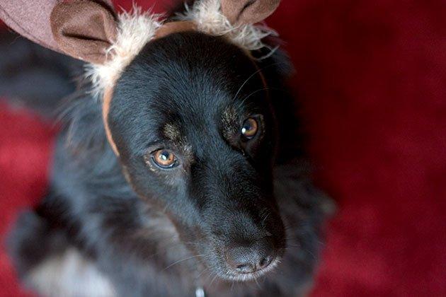 reindog