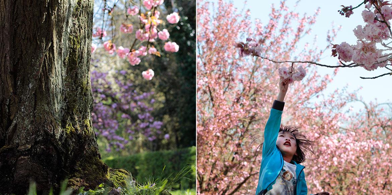 Hanami Parc de Sceaux Cerisiers en Fleurs