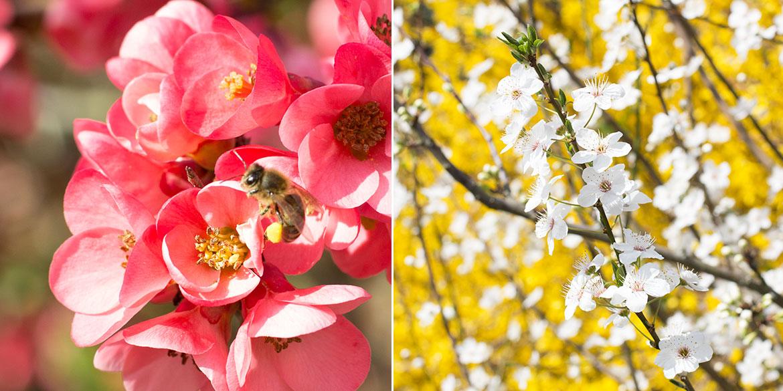 Printemps arbres en Fleurs et abeille qui butine