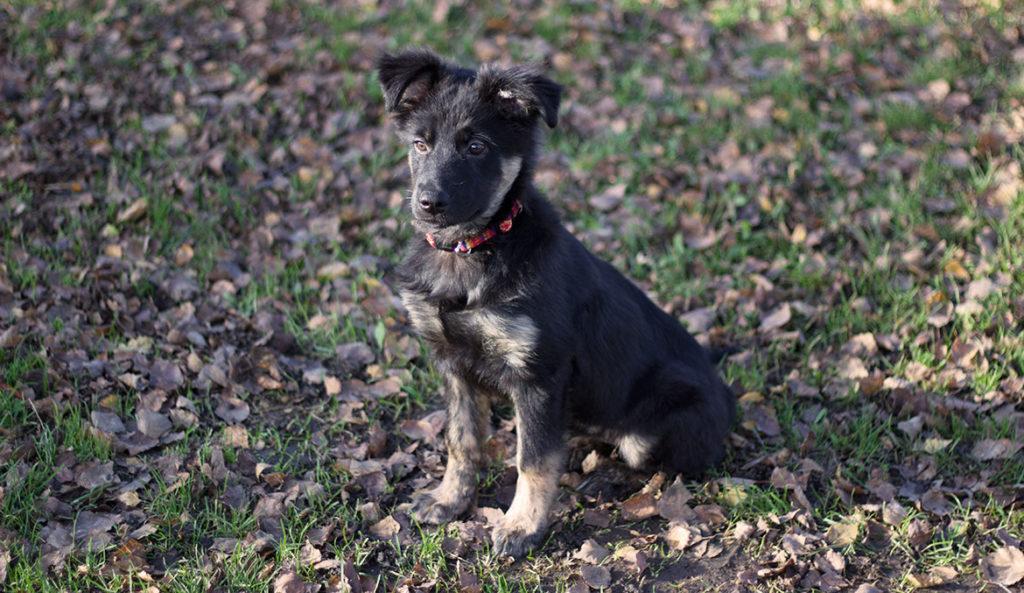 Gipsy chien croisé Border Collie