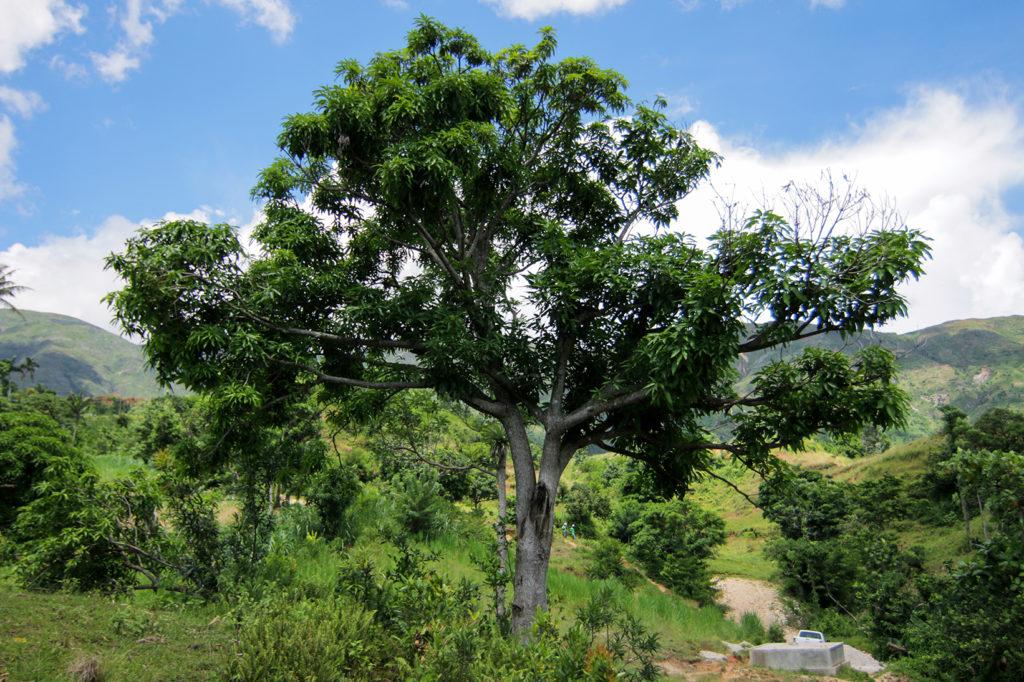 Treedom - planter un manguier